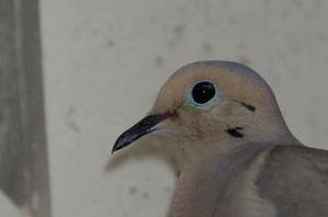 Mourning Dove BR3