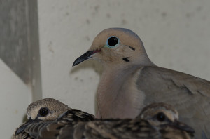Mourning Dove BR4