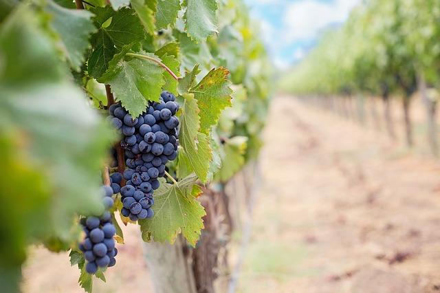 grape vines photo
